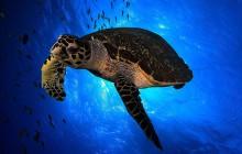 La tortuga boba vuelve a anidar en la costa española