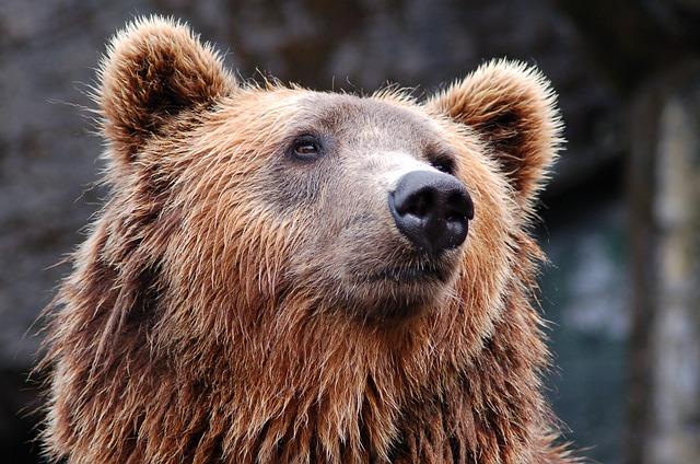 Fundacion Biodiversidad presenta el oso pardo